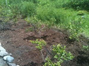 Finally!  I have weeded and mulched all 17 blueberry plants!