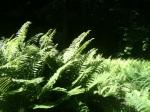 Lush ferns ...