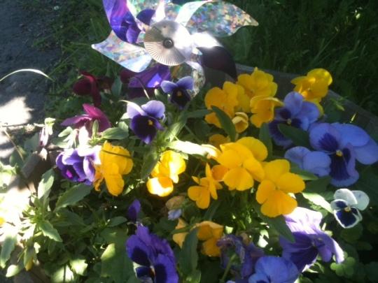 Pansies and pinwheel