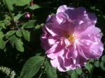 Wild roses, which also smell divine ...