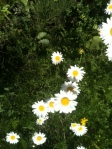 Ever-cheerful daisies ...