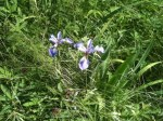 ... and elegant wild irises.