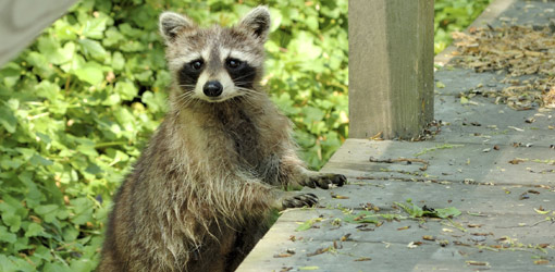Raccoons in your house? Not happy making at all.
