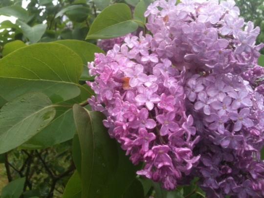 Monhegan Lilac